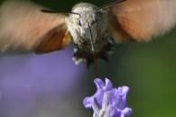 Nature Macroglossum Stellatarum sphinx colibri