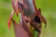 Nature Serapias vomeracea orchidée rare