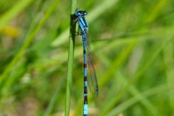 Nature Coenagrion libellule